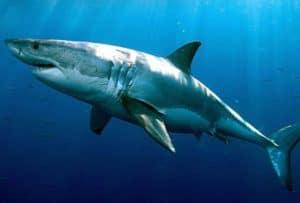 ocean ecosystem - sharks