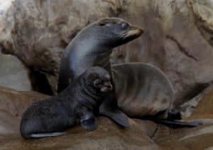 endangered sea lion