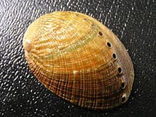Flat Abalone
