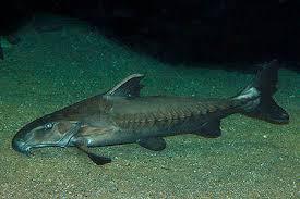 Niger Catfish
