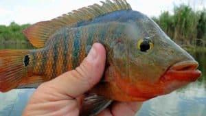 Oscar Panfish