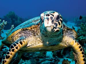 Image of: Marine Mammals Another Endangered Species In The Pacific Ocean Is Hawksbill Turtle Hawksbill Turtle Lives In The Coral Reef Along The Pacific Ocean Deep Ocean Facts 15 Endangered Species In Pacific Ocean Deepoceanfactscom