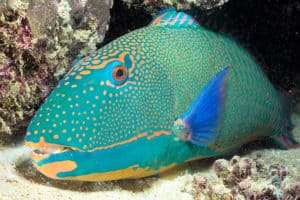 4 herbivores in the coral reef ecosystem for Parrot fish facts