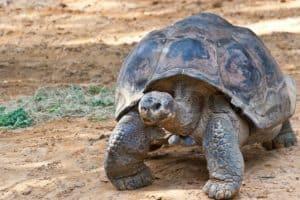 Galapagos Giant Tortoise (Chelonoidis nigra)