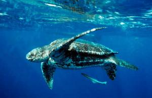 ocean ecosystem - turtles