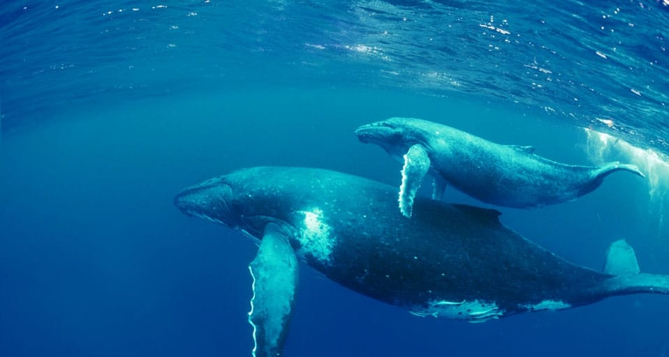 Top 12 Facts of Blue Whales - Characteristics - DeepOceanFacts com