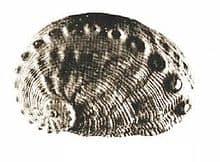 Haliotis pourtalesii