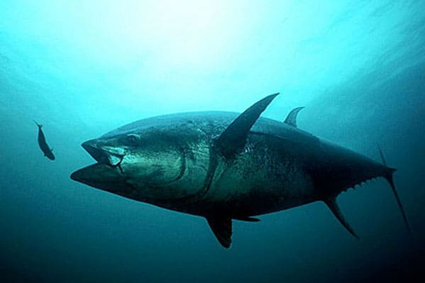 5 Endangered Tuna Species – Status – Conservation