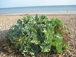 Sea Kale