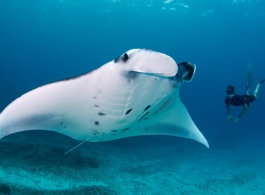 15 Types of Ocean Rays – Characteristics