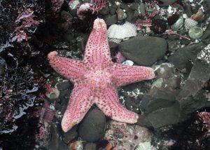 Short Spined Starfish