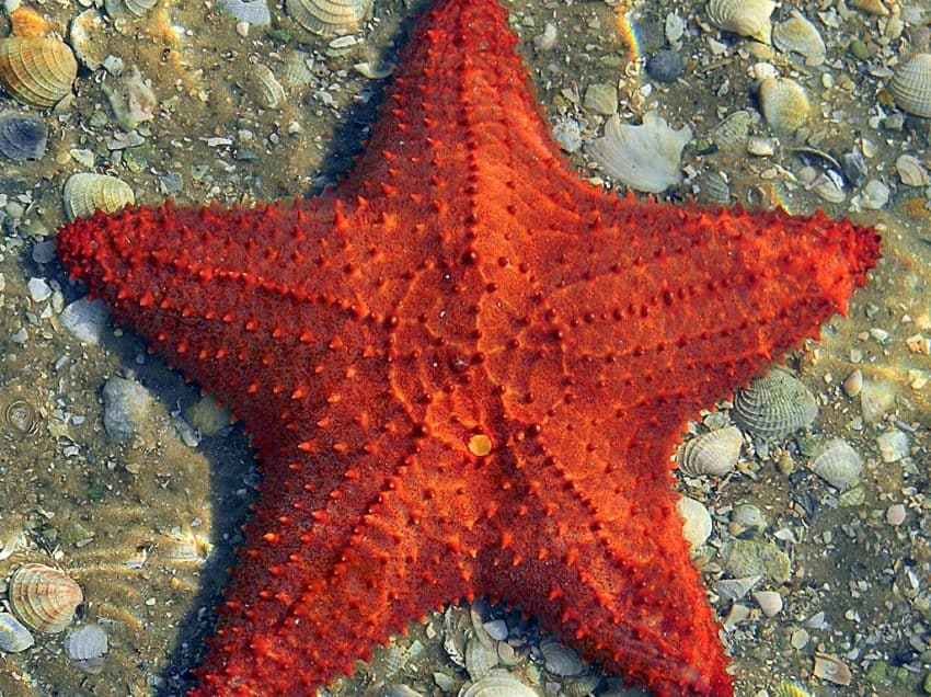 17 Characteristics of Sea Star – Habitat – Reproduction