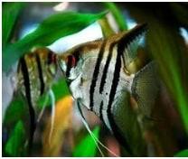 zebra angel