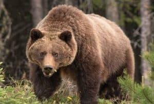 Grizzle bear