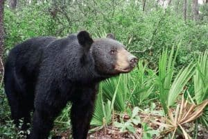 florida blackbear