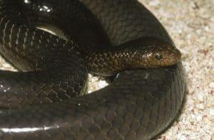 Timor Reef Sea Snake