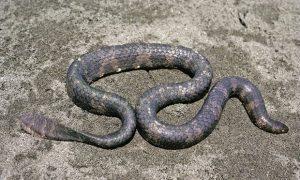 Short-nosed Sea Snake