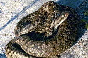 Large-headed Sea Snake