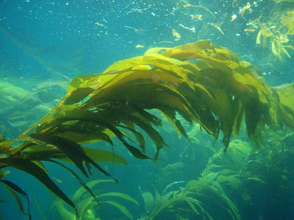 13 Importance of Seaweed in Marine Ecosystem