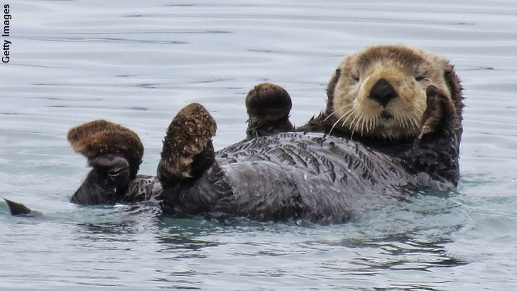 10 Endangered Sea Otters – Conservation