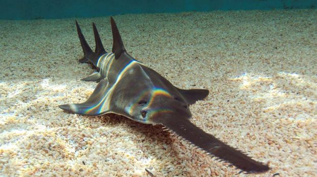 Top 25 Interesting Sawfish Facts You Must Know