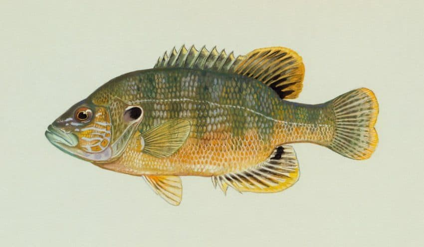 15 Types of Ocean Sunfish and Freshwater Sunfish