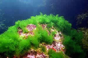 13 Facts about Sea Lettuce