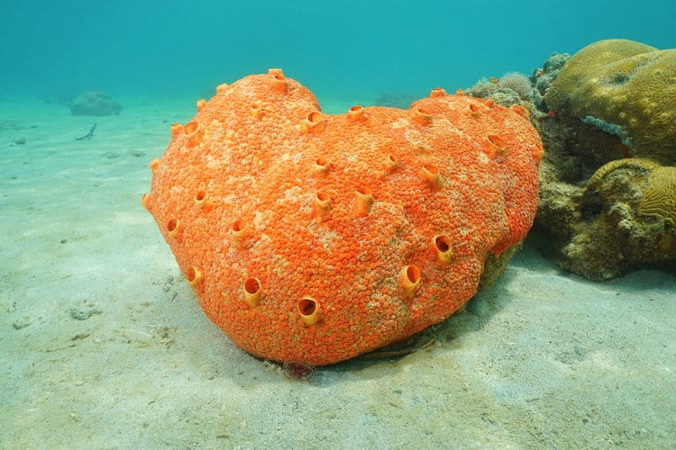 13 Function of Sea Sponges For Human Society