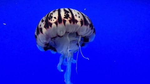 General Classification of Jellyfish that You Should Know