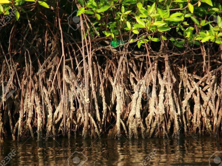 Mangrove Root Function that Grows to the Ground